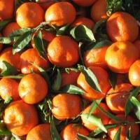 Sicilian Ribera Clementines/Mandarins - Az. Agricola Guarragi