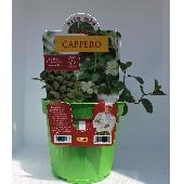 CAPER - Pot plant 14 cm - Orto mio